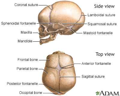 Cranial sutures | University of Iowa Hospitals and Clinics